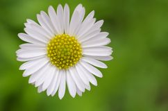 Osteospermum非洲雏菊 免版税库存图片