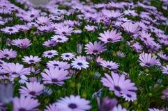 Osteospermum紫罗兰色雏菊花作为背景 免版税库存照片