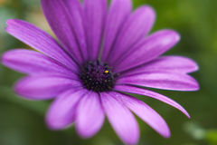 Osteospermum Stock Photo