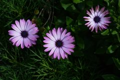 Osteospermum стоковые фотографии rf