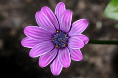 Osteospermum Stock Photography
