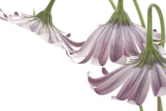 Osteospermum Stockfotos