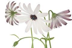 Osteospermum Stock Image