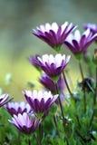 Osteospermum Royalty Free Stock Image