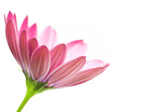 Osteospermum Royalty Free Stock Photos