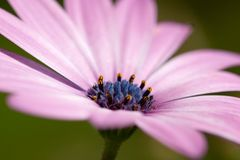 Osteospermum. Pink Osteospermum flower close up Stock Photo
