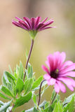 Osteospermum Royalty-vrije Stock Afbeeldingen