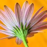 Osteospermum fotografia stock