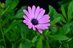 紫色osteospermum 库存照片