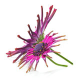 Osteospermum Royalty Free Stock Images