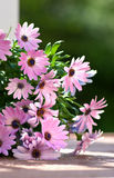 Osteospermum. A group of blooms with a shallow depth of field Royalty Free Stock Photo