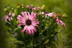 Osteospermum Stock Foto's