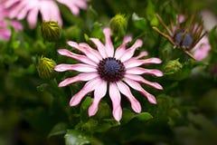 Osteospermum Royalty-vrije Stock Foto