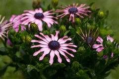 Osteospermum Royalty-vrije Stock Foto's