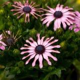 Osteospermum Stock Fotografie