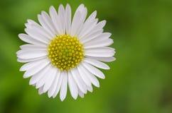 Osteospermum Afrikaanse Daisy Royalty-vrije Stock Afbeeldingen