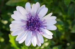 Osteospermum Afrikaanse Daisy Stock Fotografie