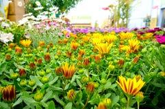 Osteospermum al centro di giardino 1 Fotografia Stock