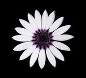 Osteospermum Asti weißes Gänseblümchen mit purpurroter Mitte stockfoto