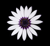 Osteospermum Asti White Daisy with purple center. Beautiful Osteospermum Asti White Daisy with purple center isolated on Black background. Top view Stock Photo