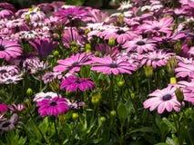 Osteospermum bekannt als die daisybushes oder die afrikanischen Gänseblümchen stockbilder