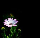 Osteospermum biały, odosobniony wizerunek Zdjęcie Royalty Free