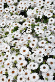 Osteospermum blanc Image stock