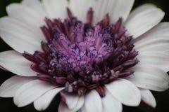 Osteospermum blomma Arkivfoton