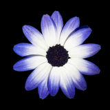 Osteospermum - Blue and White Daisy Flower Head. Osteospermum - Beautiful Light Purple Daisy Flower Head top view Royalty Free Stock Photography