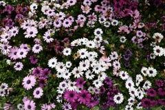 Osteospermum-Blume im Garten Stockfotos