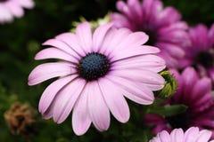 Osteospermum-Blume im Garten Lizenzfreies Stockfoto