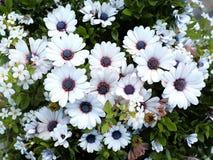 Osteospermum-Blumenbeet Stockbild