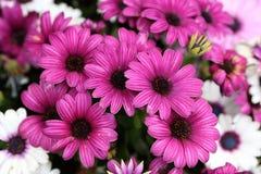 Osteospermum/Cineraria-Blume im Garten Stockfotografie