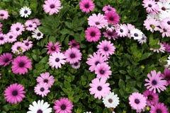 Osteospermum/Cineraria-Blume im Garten Lizenzfreie Stockfotos