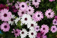 Osteospermum / Cineraria Flower in Garden. Natural pretty white, light purple and dark purple osteospermum / Cineraria flower in Garden with green leaf. This Stock Photo