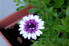Osteospermum 4D Berry White, lage compacte hybride cultivar stock foto