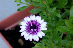 Osteospermum 4D Berry White, low compact hybrid cultivar. With medium sized white flower heads with purple disc of long tubular florets stock photo