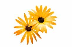 Osteospermum Daisy ή λουλούδι λουλουδιών της Daisy ακρωτηρίων Στοκ φωτογραφίες με δικαίωμα ελεύθερης χρήσης