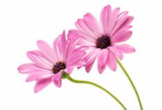 Osteospermum Daisy ή λουλούδι λουλουδιών της Daisy ακρωτηρίων που απομονώνεται Στοκ εικόνα με δικαίωμα ελεύθερης χρήσης