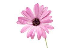 Osteospermum Daisy ή λουλούδι λουλουδιών της Daisy ακρωτηρίων που απομονώνεται Στοκ φωτογραφία με δικαίωμα ελεύθερης χρήσης