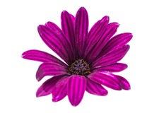 Osteospermum Daisy ή λουλούδι λουλουδιών της Daisy ακρωτηρίων Στοκ εικόνες με δικαίωμα ελεύθερης χρήσης