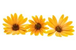 Osteospermum Daisy ή λουλούδι λουλουδιών της Daisy ακρωτηρίων Στοκ εικόνα με δικαίωμα ελεύθερης χρήσης