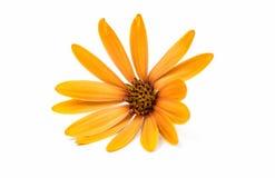 Osteospermum Daisy ή λουλούδι λουλουδιών της Daisy ακρωτηρίων Στοκ Εικόνα