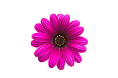 Osteospermum Daisy ή λουλούδι λουλουδιών της Daisy ακρωτηρίων Στοκ Φωτογραφία