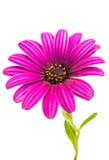 Osteospermum Daisy ή λουλούδι λουλουδιών της Daisy ακρωτηρίων Στοκ φωτογραφία με δικαίωμα ελεύθερης χρήσης