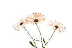 Osteospermum Daisy ή λουλούδι λουλουδιών της Daisy ακρωτηρίων Στοκ Εικόνες