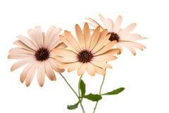 Osteospermum Daisy ή λουλούδι λουλουδιών της Daisy ακρωτηρίων Στοκ Φωτογραφίες