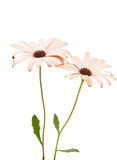 Osteospermum Daisy ή λουλούδι της Daisy ακρωτηρίων Στοκ φωτογραφίες με δικαίωμα ελεύθερης χρήσης
