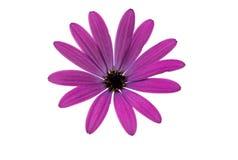 Osteospermum Daisy ή λουλούδι της Daisy ακρωτηρίων Στοκ Φωτογραφία