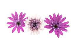 Osteospermum Daisy ή λουλούδι της Daisy ακρωτηρίων Στοκ εικόνα με δικαίωμα ελεύθερης χρήσης